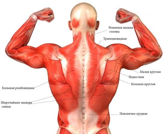 Мышцы, формирующие осанку